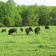 Summer Pasture Walk, Appomattox County