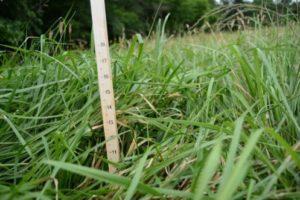Novel Endophyte Tall Fescue